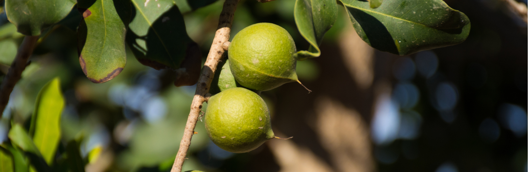 Macadamia tree - why are macadamia nuts so expensive