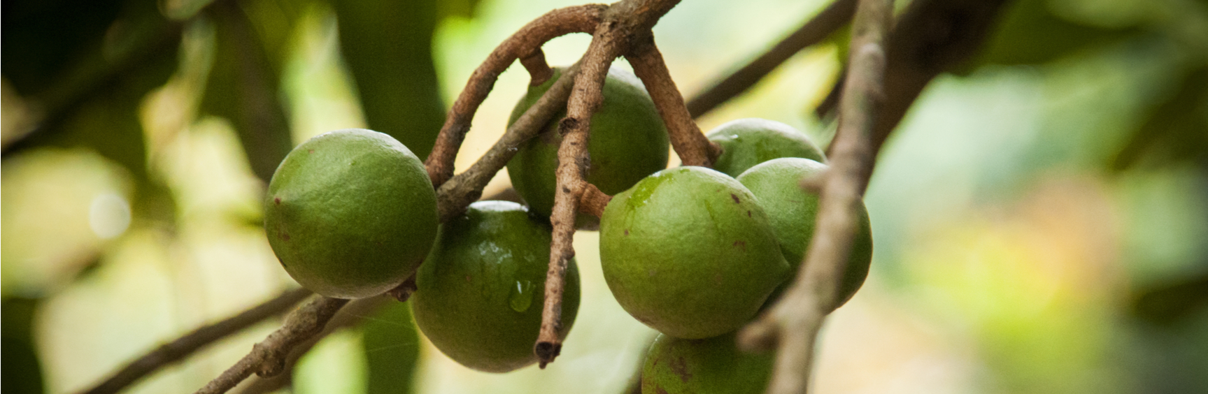 macadamia-nuts-growing-sustainability